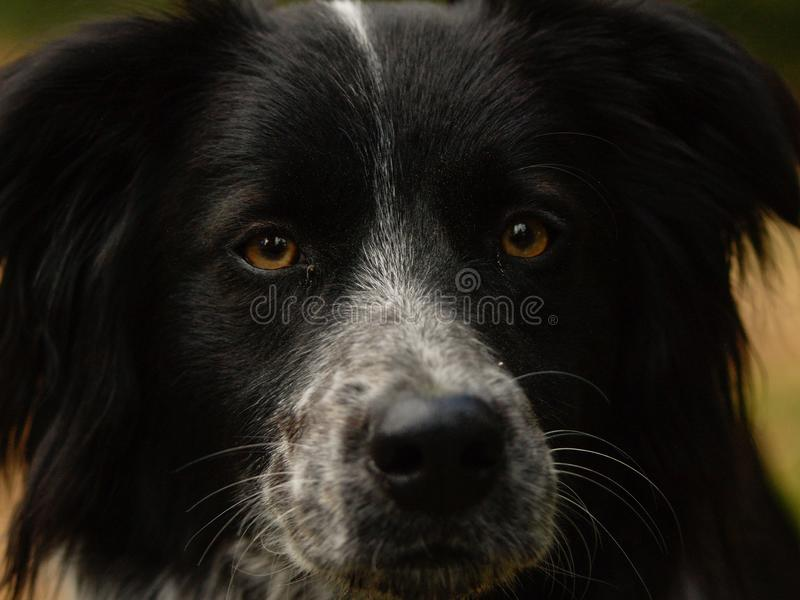 Dog with piercing eyes stock image