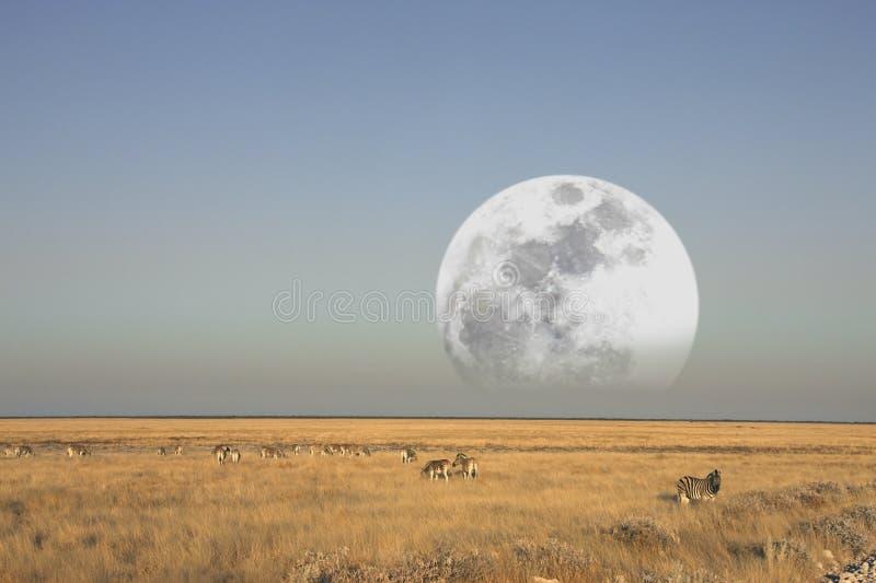 Luna che aumenta sopra un gruppo di zebra fotografia stock libera da diritti