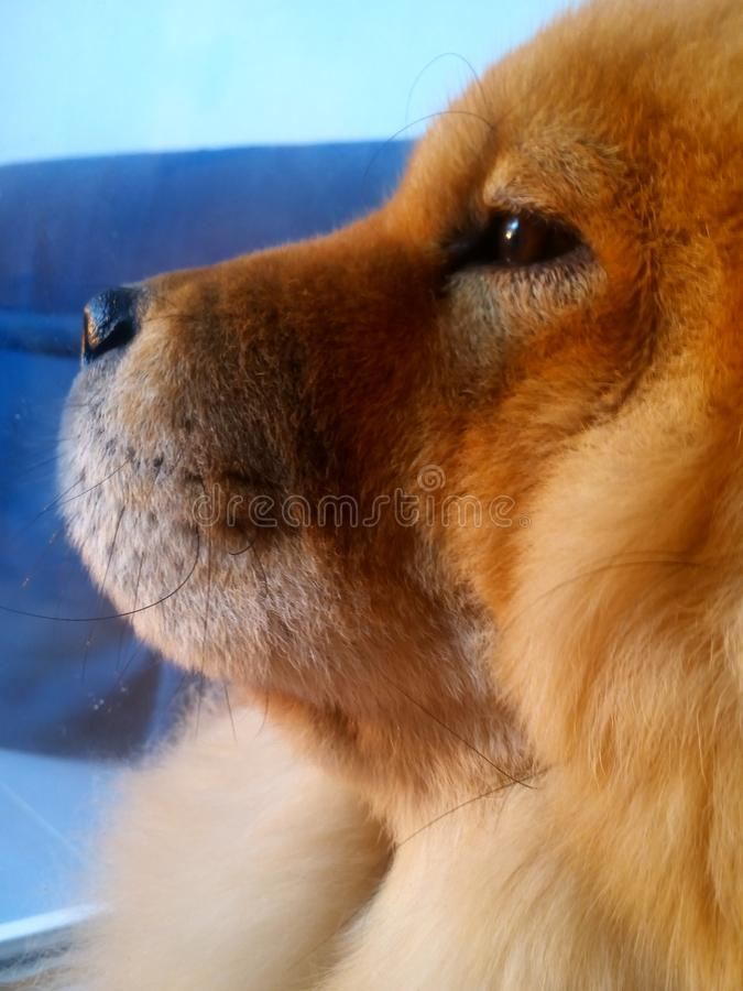 Luna chow chow royalty free stock photography