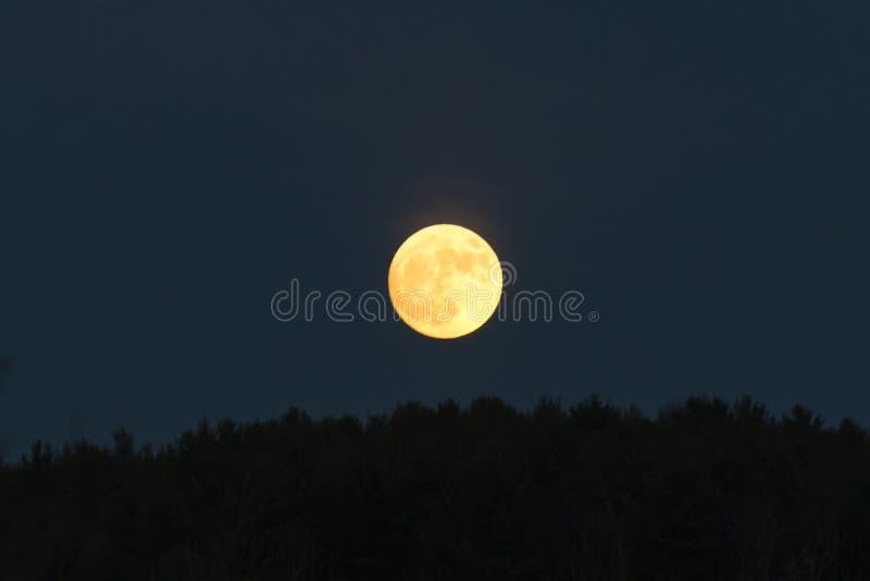 Luna de oro baja en el cielo oscuro apenas sobre la hilera de árboles imagen de archivo