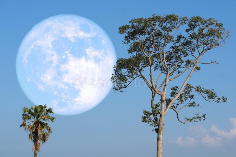 luna eccellente della fragola su cielo notturno indietro sopra l'albero della siluetta fotografia stock libera da diritti