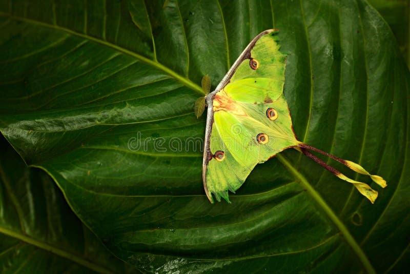 Luna mal, Actias luna, härlig fjäril för gul gräsplan från Florida, USA Stor färgglad krypnaturvegetation, fjärilssitt fotografering för bildbyråer