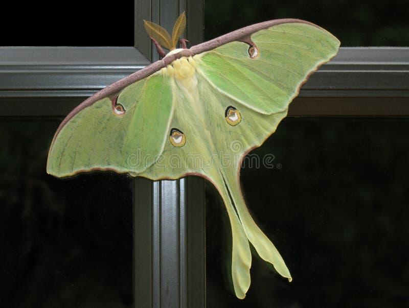 Luna Moth. On window, Big Canoe, North Ga stock image