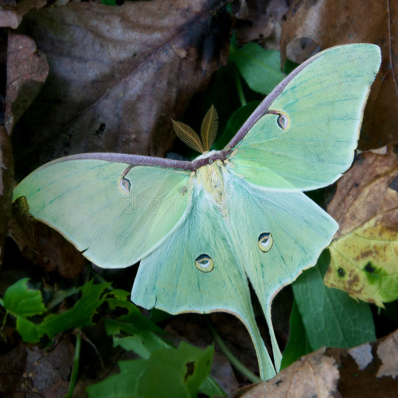 Download Luna moth stock image. Image of wild, forest, closeup - 25426405