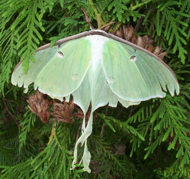 Luna Moth royaltyfri bild