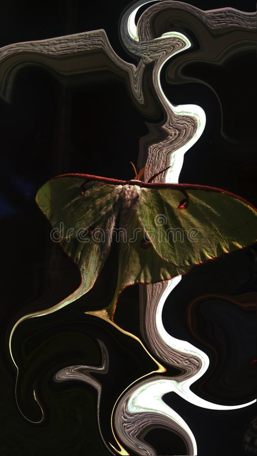 Luna Moth foto de stock
