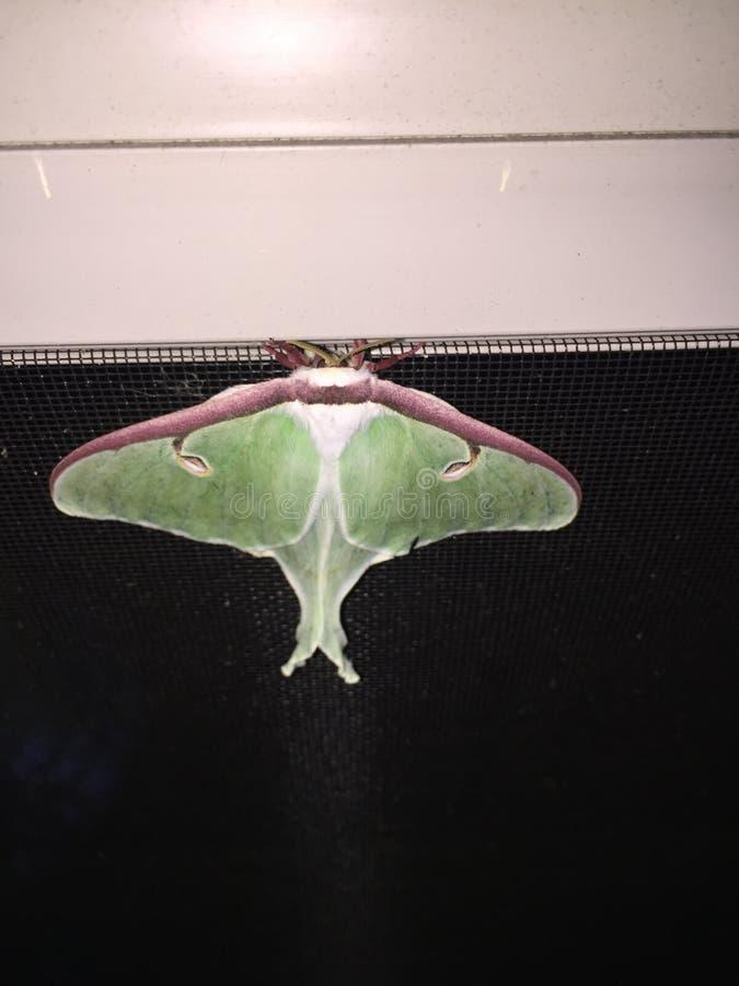 Luna Moth foto de archivo libre de regalías