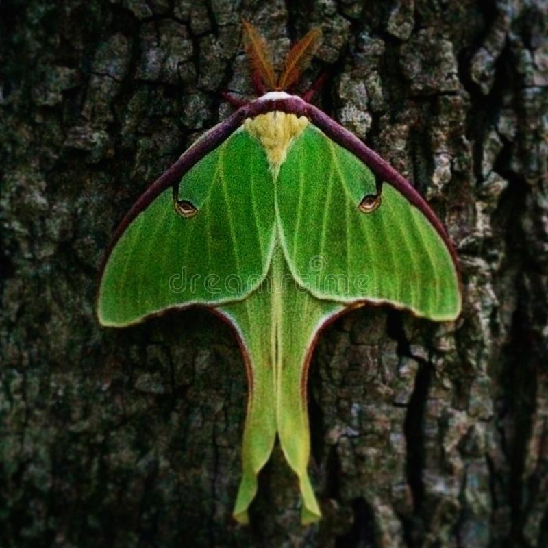 Luna Moth image libre de droits