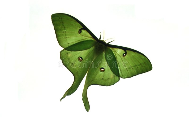 Luna moth. Photo of a backlit luna moth royalty free stock image