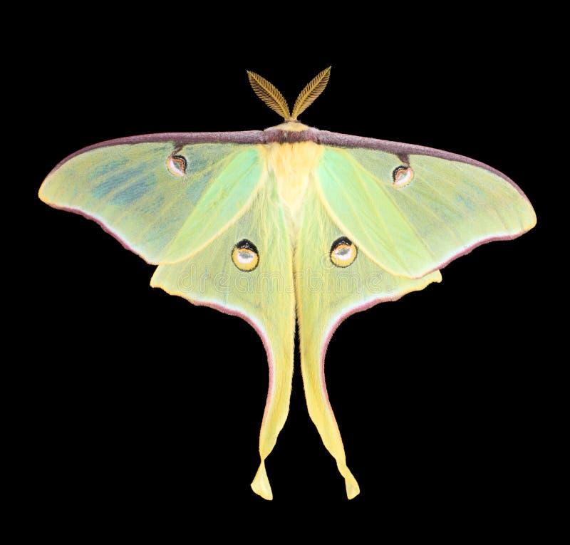 Luna Moth, Actias luna. Isolated on black stock photos