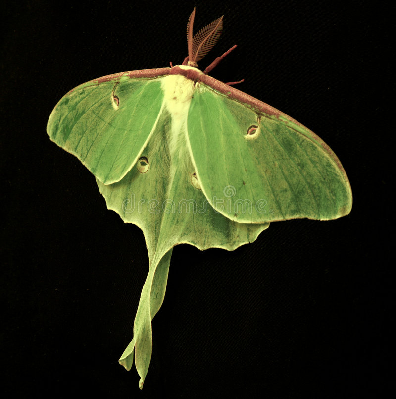 Luna Moth (Actias Luna) royalty free stock image