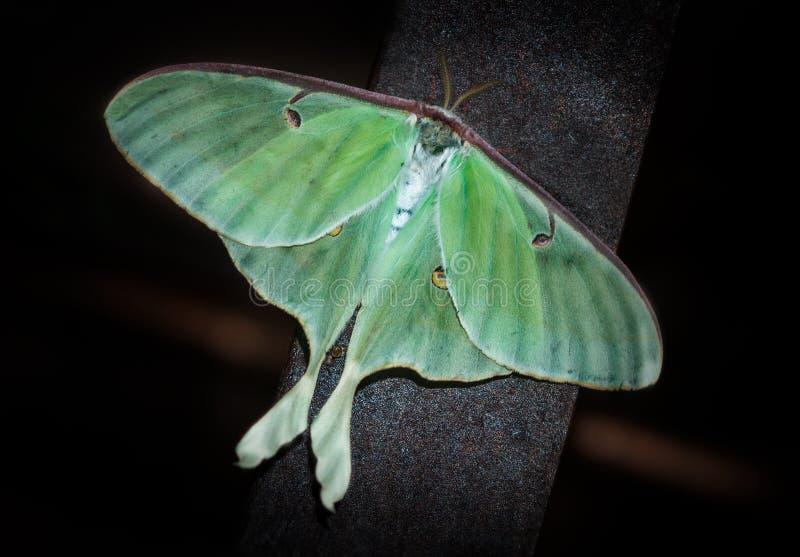 Luna Moth (Actias luna). On dark background royalty free stock photo