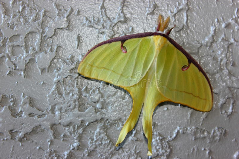 Luna Moth (Actias luna) royalty free stock photos