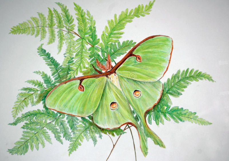 Luna Moth Art with copy space. A Luna Moth on a fern bouquet in colored pencil, Luna moths are the largest Saturniid moth in North America Beautiful lime green royalty free stock images