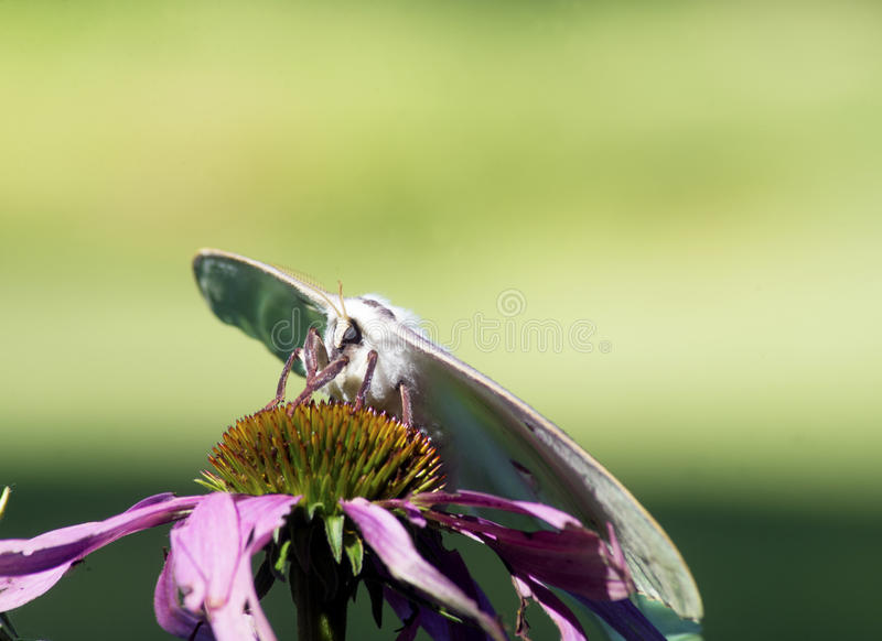 Download Luna Moth Bonita Empoleirada Enfrentando O Camea Foto de Stock - Imagem de alaranjado, antenas: 65576178