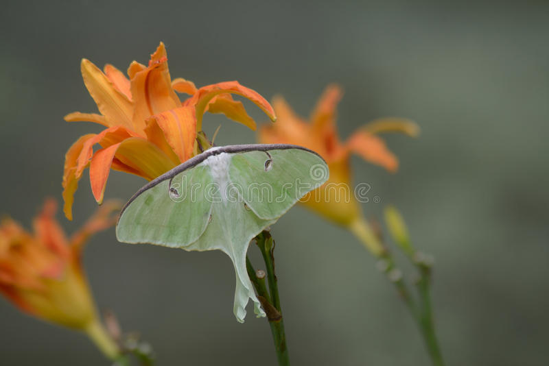 Download Luna Moth Bonita Que Senta-se No Hemerocallis Alaranjado Imagem de Stock - Imagem de fuzzy, tailed: 65576137