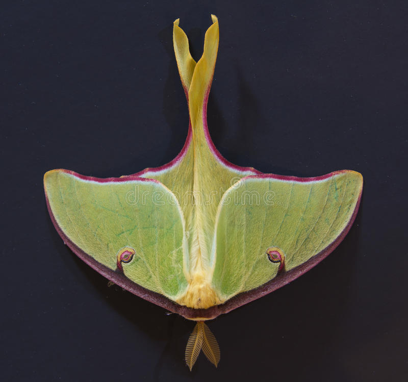 Luna Moth On Dark Background Royalty Free Stock Images
