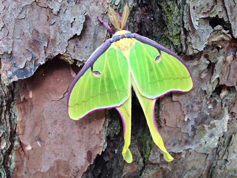 Luna Moth on a Pine Tree (close-up macro). A close-up (macro) of a large Luna Moth (Actias luna) on the trunk of a Pine tree royalty free stock image
