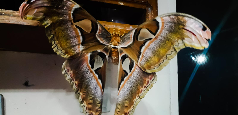 Luna Moth. Large brown luna moth, migratory, brown, huge, queen royalty free stock images