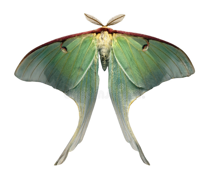 Luna Moth is a rare and beautiful sight royalty free stock images