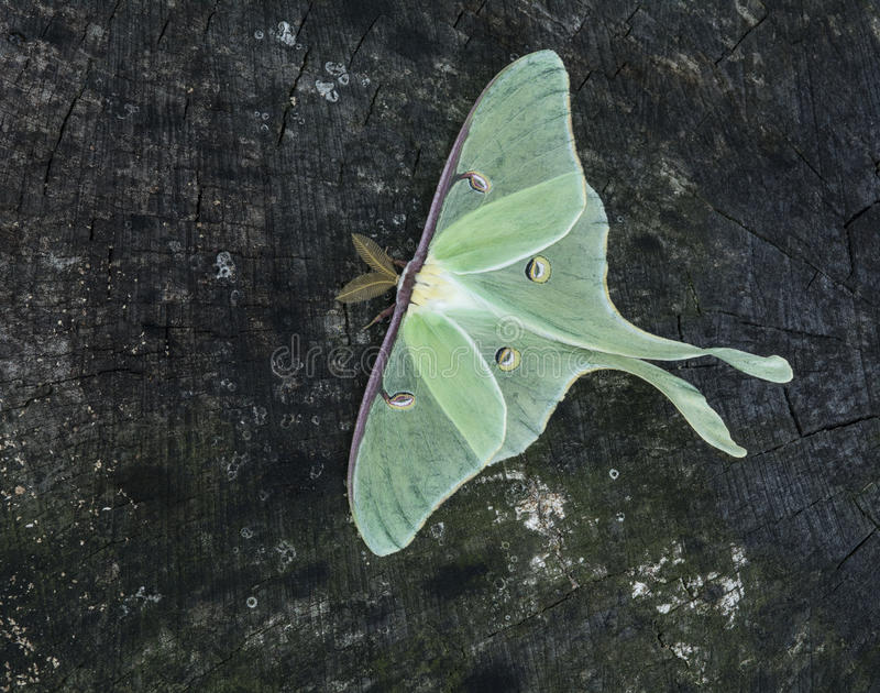 Luna Moth royalty free stock image