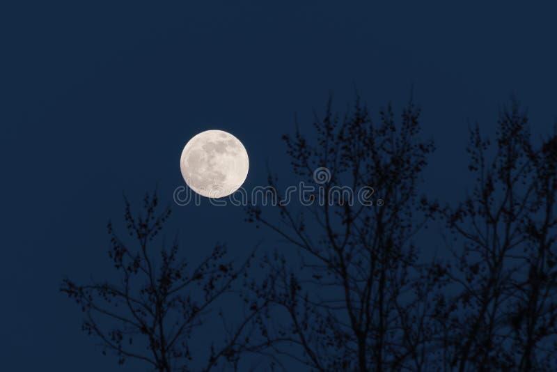 Luna piena dietro i rami di albero nudi in una notte fredda di inverno immagine stock