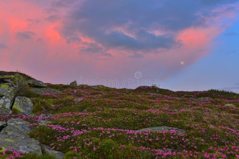 Luna piena e rododendro rosa di fioritura a penombra immagini stock libere da diritti