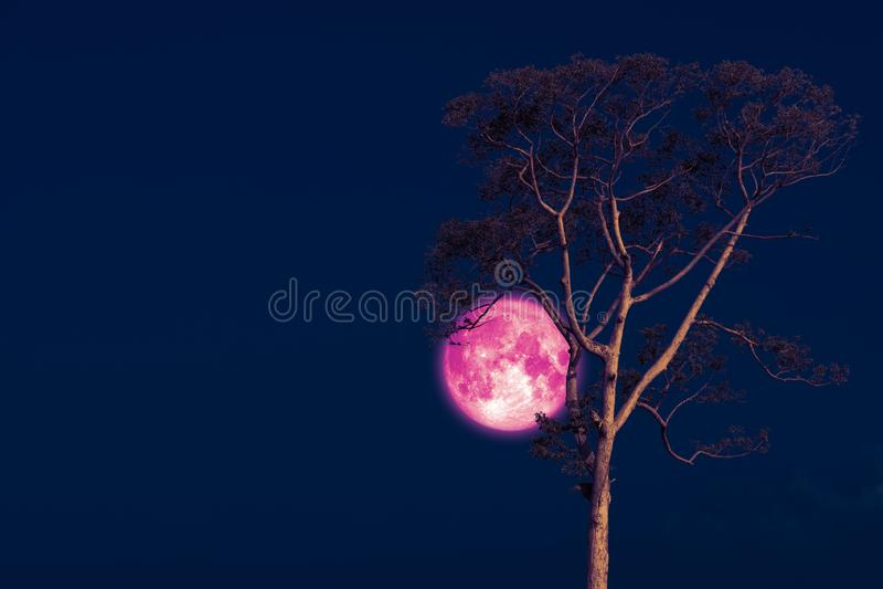 luna rosa su cielo notturno indietro sopra l'albero della siluetta fotografia stock
