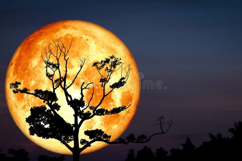 Luna sanguinosa piena eccellente indietro sull'albero asciutto del ramo della siluetta su cielo notturno fotografie stock