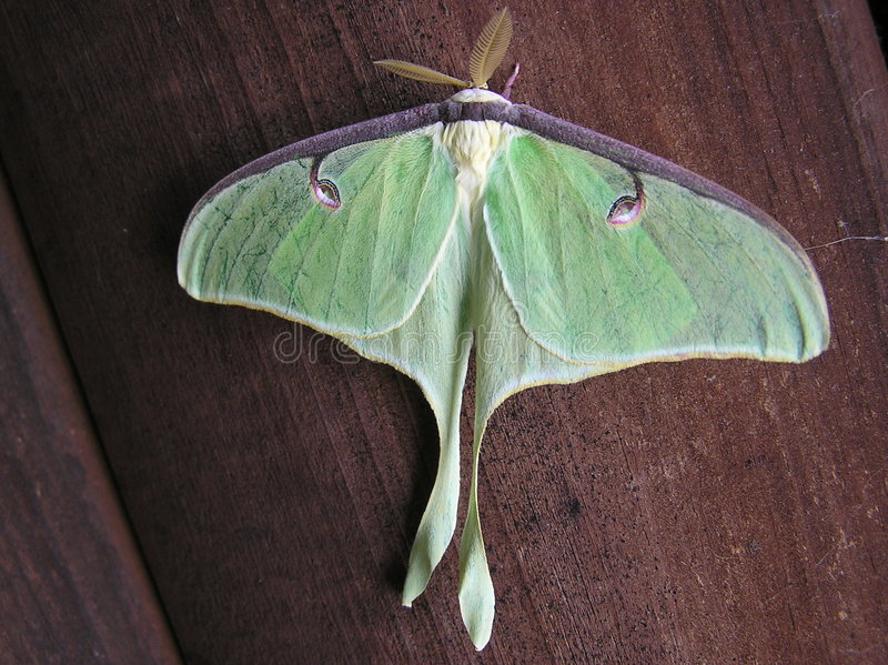 Lunar moth royalty free stock photo