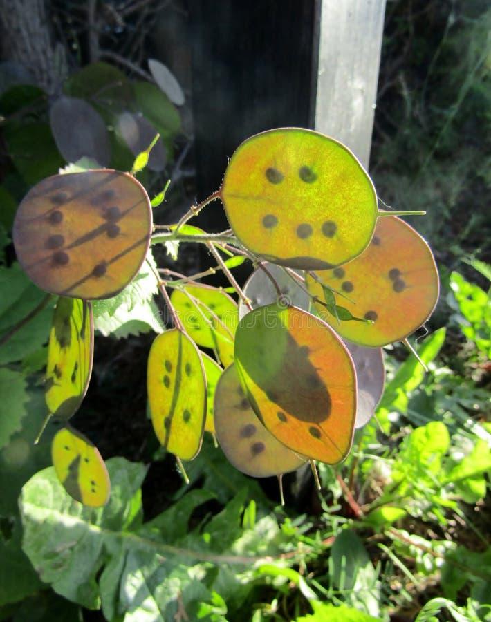 Lunaria annua lub rocznik rzetelności rośliny półprzezroczysty ziarno połuszczymy fotografia stock