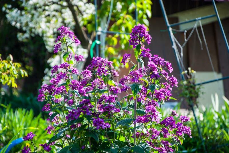 Lunaria bush. A full-blown bush of lunaria in April royalty free stock image