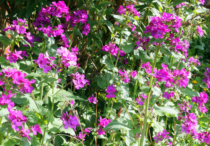 Lunaria or Honesty flowers in the garden. stock photography