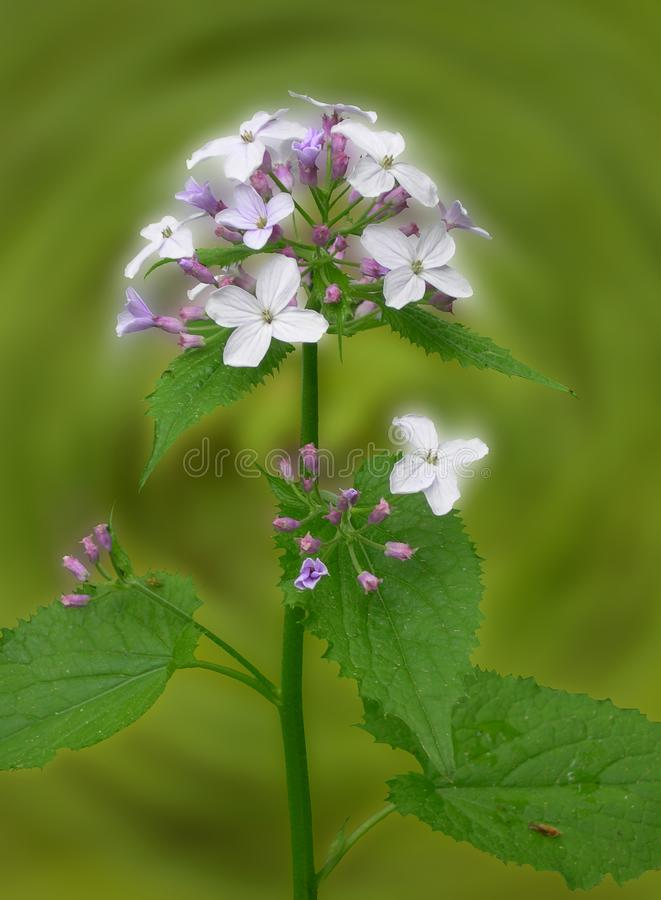 Lunaria moon grass on blurred green background. Lunaria moon grass. Family Cruciferae. Lunaria is widespread in the Southeast and in the middle part of Europe stock photos