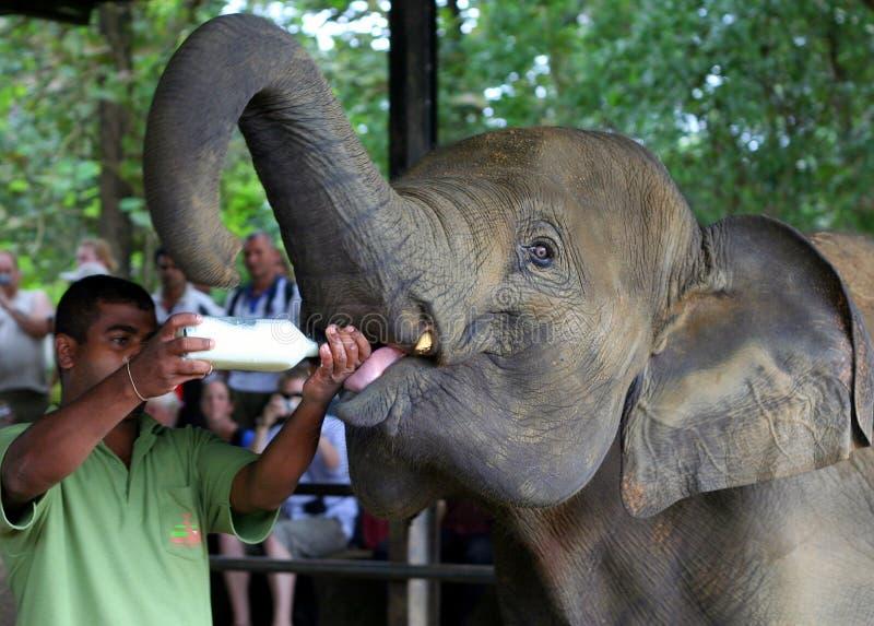 Baby Elephants Feading at Elephant Orphanage royalty free stock photos