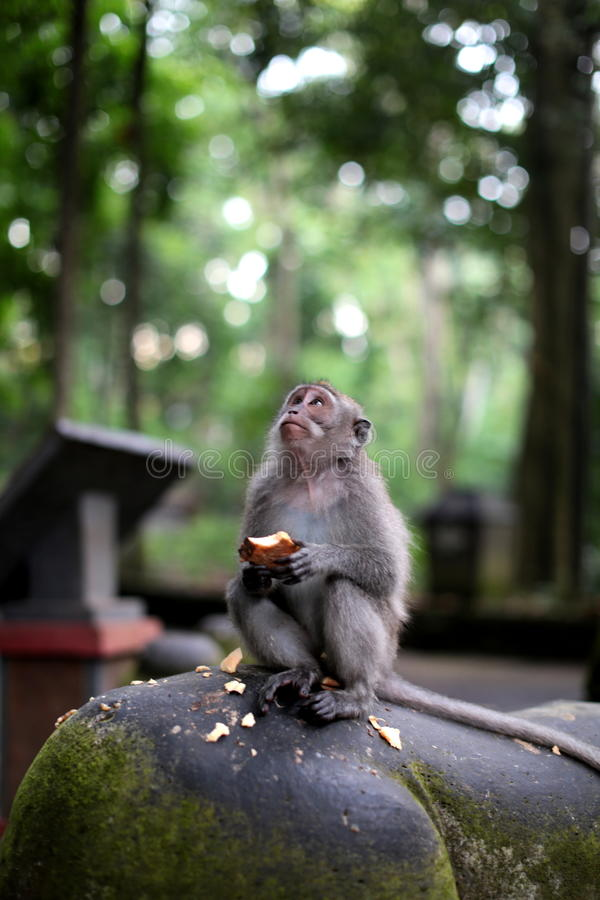 Lunch Time. A Monkey at Monkey Forest, eating sweet potato as his snack stock photography