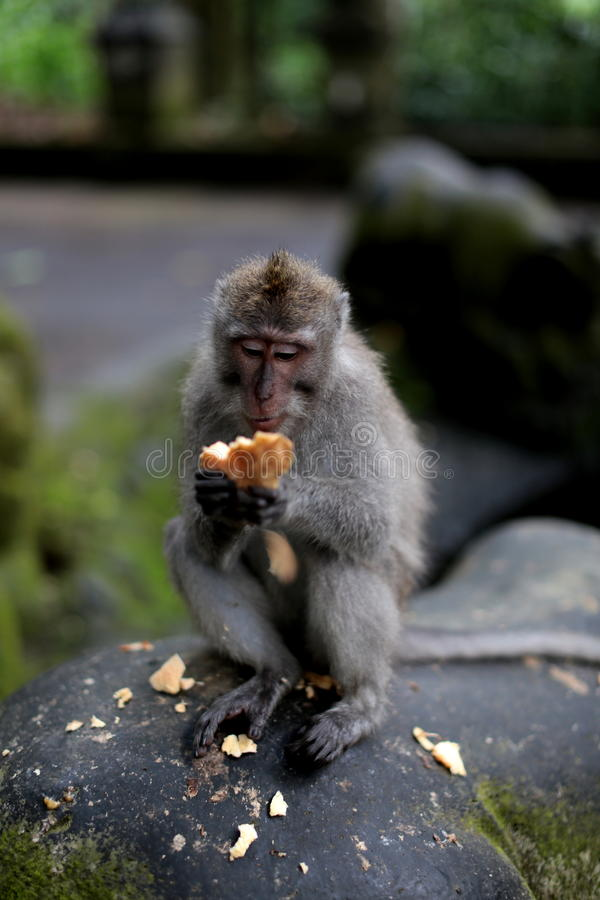 Lunch Time. A Monkey at Monkey Forest, eating sweet potato as his snack stock images