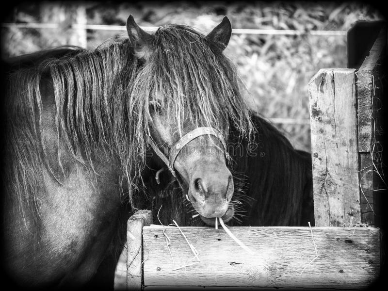 Lunch time for my horse. This horse is a mini-horse whose name is Poupounette. We kept it a year. Photo taken in the summer of 2015 royalty free stock photography