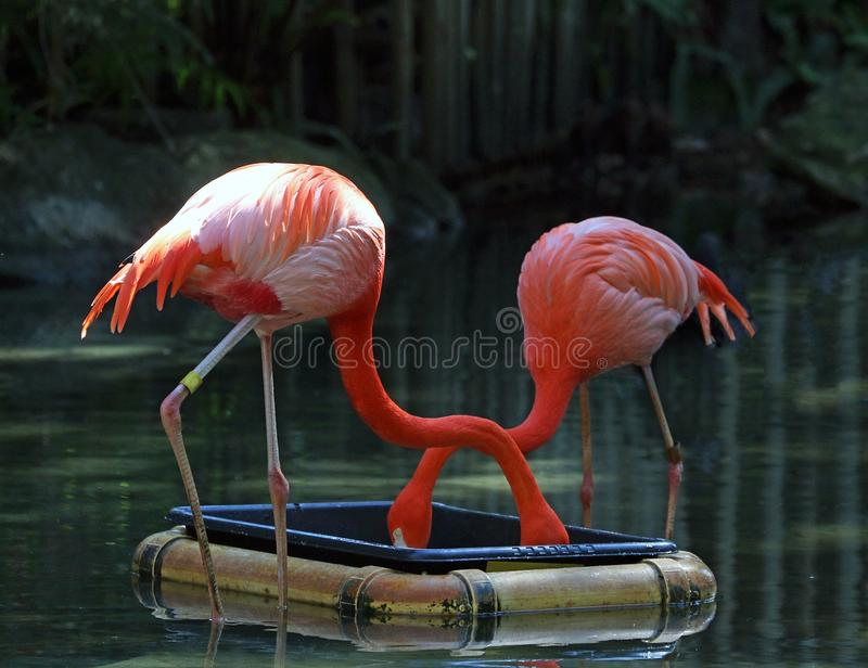 Lunch Time AT Naples Zoo. Flamingos at the zoo getting a special diet to preserve their rosy color, They are fed a commercially prepared diet high in carotenoids stock photo