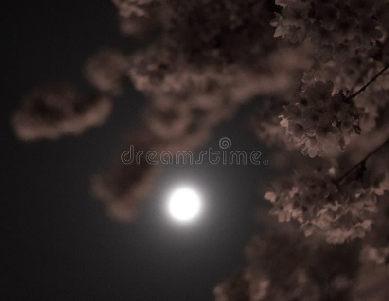 Lune par les arbres photo stock