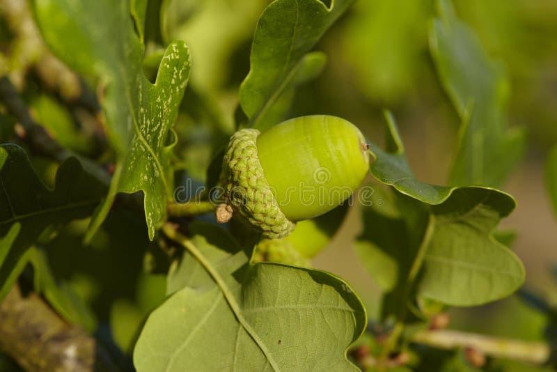 Download Luneburg荒地-在橡树的橡子 库存图片. 图片 包括有 德国, 叶子, 荒地, 结构树, 关闭, 安哥拉猫 - 59101247