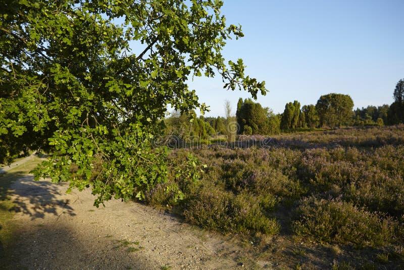 Download Luneburg荒地-橡树的早午餐和荒地环境美化 库存照片. 图片 包括有 目的地, 德国, 农村, 路径 - 59100974
