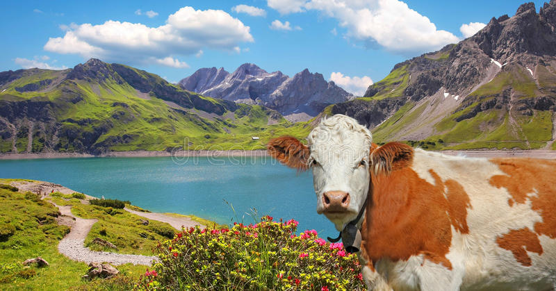 Luner see and milk cow, austria. Dam lake luner see and cow, vorarlberg, idyllic austrian landscape royalty free stock photo