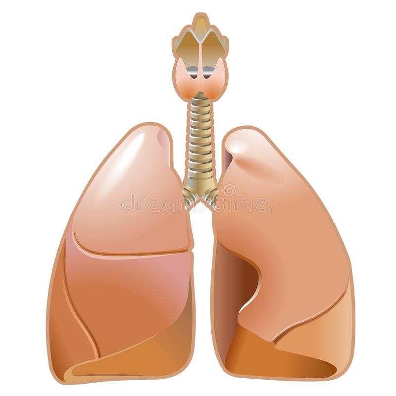 Download Lung stock vector. Image of biology, medicine, human - 23204679