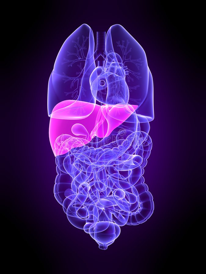 Lung. 3d rendered anatomy illustration of transparent human organs with highlighted lung vector illustration