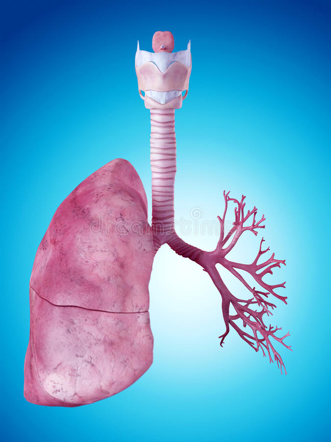 The lung anatomy. Medically accurate illustration of the lung anatomy vector illustration