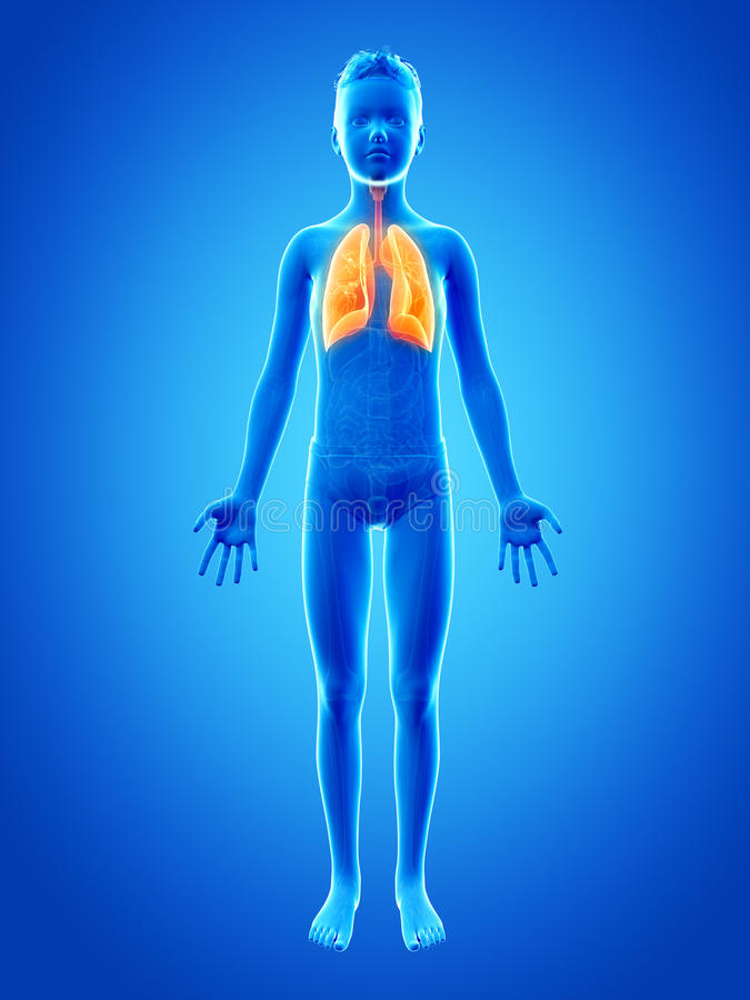 The lung. Anatomy of a young boy - the lung stock illustration
