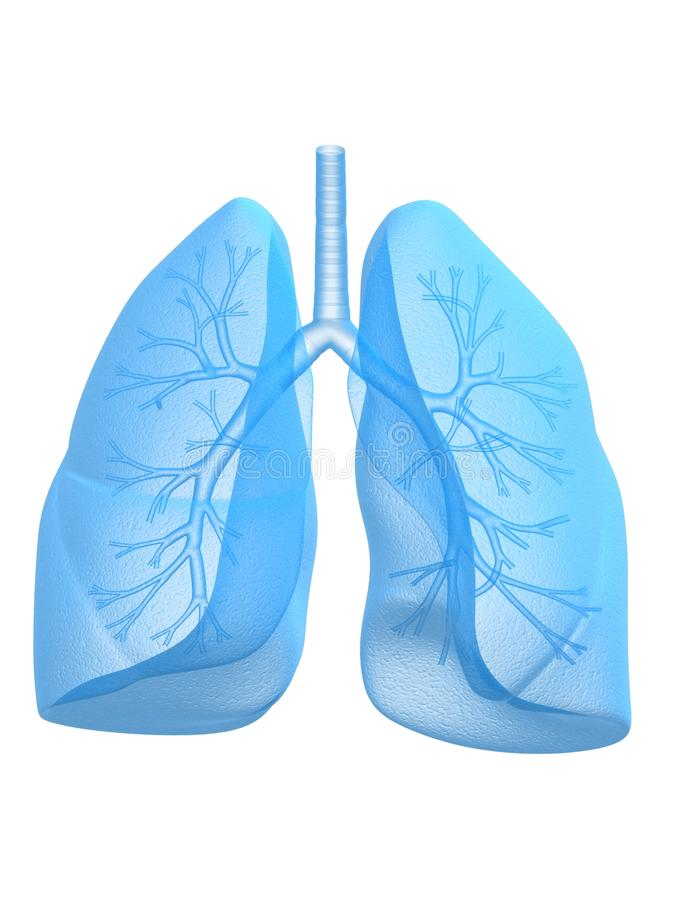 Lung and bronchi. 3d rendered anatomy illustration of human lung and bronchi royalty free illustration