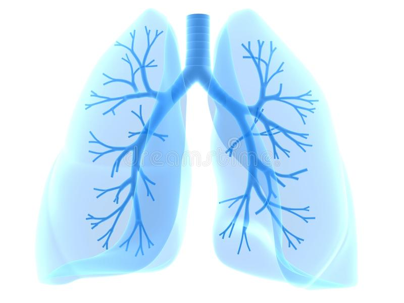 Lung and bronchi. 3d rendered anatomy illustration of human lung with bronchi royalty free illustration