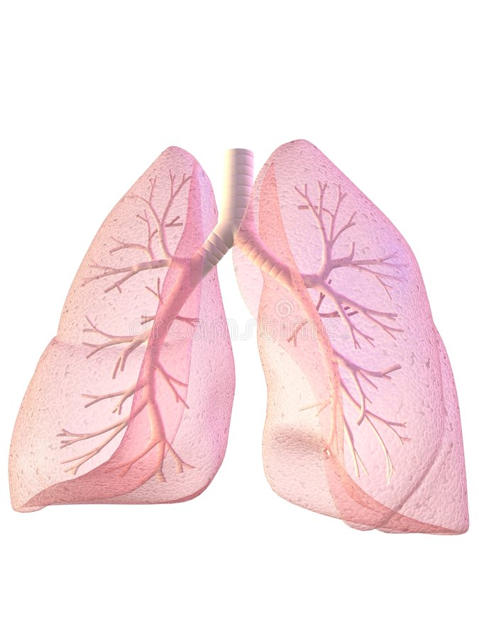 Lung and bronchi. 3d rendered illustration of human lung with bronchi royalty free illustration